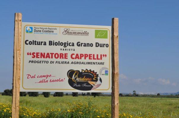 Grano_duro_Senatore_Cappelli_parcodune_costiere3