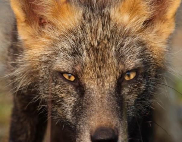 red-fox-head-portrait-610x544-610x475